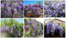 Purple Wisteria Vine 5 + Seeds