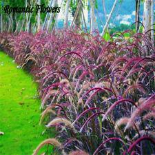 50PCs Seeds Half-hardy Perennial Pennisetum Setaceum Fireworks Fountain Grass