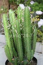 "(1) Good Luck Plant / Euphorbia Trigona Green Cutting 16"" Long (No Root)"