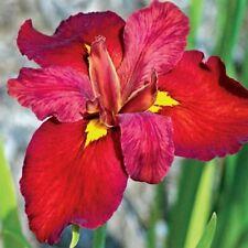 2 Louisiana Water Irises Red Chowning