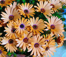 "African Daisy (Dimorphoteca sinuate) ""Salmon Queen"" x 100 seeds"