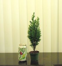 Dwarf European conifer for mame shohin bonsai tree multiple listing