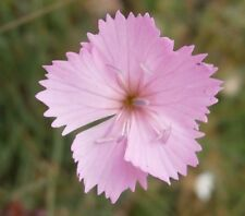 Dianthus sylvestris in 50mm forestry tube perennial plant