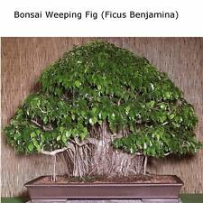 150pcs Bonsai Seeds Weeping Fig - Ficus benjamina Home Bonsai Plant Green Tree