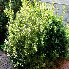 5 Lorbeerbaum Echter Lorbeer Laurus nobilis Gewürzpflanze winterhart LB377