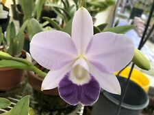 Orchid Cattleya - Lc. Mini Purple 'Blue Hawaii' Am/Aos Matured Div