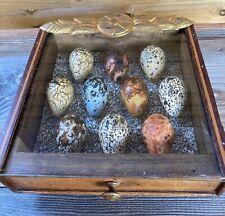 Replica birds eggs Guillemots oeuf oiseaux Guillemots réplique musée Taxidermie.