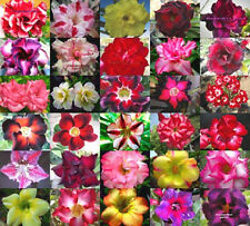 "ADENIUM ""Mixed 30 Type"" 550 Seeds RARE!!"