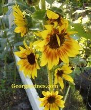 Sunflower Orange Mahogany 15 seeds