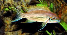 10 (ten) x Neolamprologus brichardi (Lake Tanganyika Cichlid)