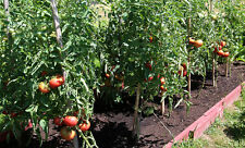 30 MIRACLE OF SIBERIAN LAND TOMATO Seeds