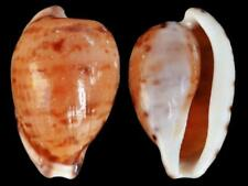 Cypraea edentula - Shells from all over the World NEW!!!
