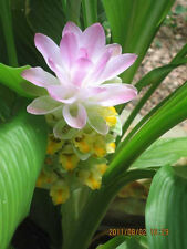 Curcuma Petiolata Pink Flowering Hidden Ginger 3 Viable Plant rhizomes Easy Grow