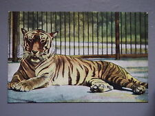 R&L Postcard: Tiger at Zoo Zoological Gardens London, GD&D