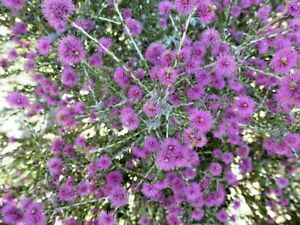 100 X PURPLE MYRTLE MELALEUCA SPATHULATA SEEDS,NATIVE GARDEN SHRUB,FLOWERS,HEDGE