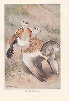 C1914 Naturel History Imprimé~ Great Outarde ~ Lydekker