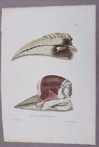 GEORG KNORR 1760'S NATURAL HISTORY HAND COLORED ENGRAVING HELMETED HORNBILL BIRD