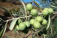 5 graines d' OLIVIER (Olea Europaea)G811 OLIVE TREE SEEDS SAMEN SEMILLAS SEMI