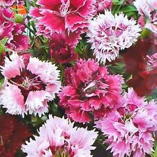 Carnation Clove Pink Feather Double Mix Dianthus Caryophyllus Seeds Perennial