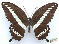 Papilio Gigon Grand Vrai Papillon Un- Ensemble x1 Indonésie Insect Entomologie