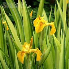 Heirloom 50 Flower Seeds Iris Pseudacorus Bearded Irises German Iris Yellow Flag