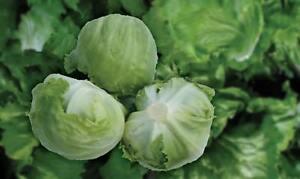 Lettuce 31 Robinson Pills Seeds - UK Seller