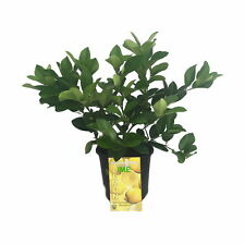"""Cocktail Tree - Two Trees in 1 Pot - Meyer Lemon/Key Lime -Fruiting Size- 8"""" Pot"""