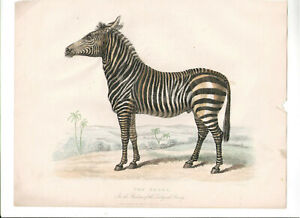 1866 Hand Coloured Engraving Zebra, Buffon Natural History