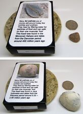 Set of 2 real fossil sea shells & gift box & information card  dinosaur & nature