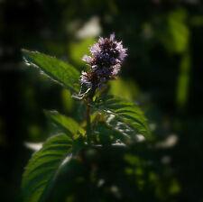 Véritable Menthe Mentha ✿ Poivre Menthe Délicieux Bio à épices Jardin Thé Herbes Plante