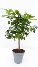 Zitrus Zitronenbaum 80 - 100 cm Zitrone Citrus limon Zitruspflanze