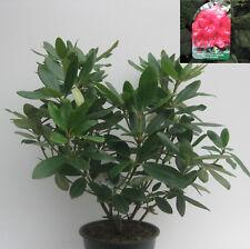 Rhododendron hybride Nova Zembla (Rot) ca40cm hoch buschig gewachsen im 4l Topf