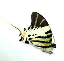 Beautiful Butterfly single male Graphium androcles. Luwuk