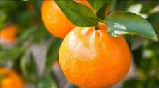 Imperial Mandarin Grafted fruit tree