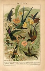 1895 TROPICAL EXOTIC HUMMINGBIRD BIRDS Antique Chromolithograph Print G.Mutzel