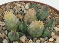 Piaranthus framesii, vaso 10CM (ariocarpus,copiapoa,cactus,仙人掌 )