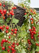 Tumbling Tom Red Tomato - 10+ seeds - PERFECT FOR BALCONY!
