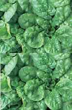 ENGLISH SPINACH Bloomsdale 100 seeds vegetable garden