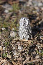 Hastings Pewter Company Lead Free Pewter Owl Figurine Hoot Owl Gift bird - New
