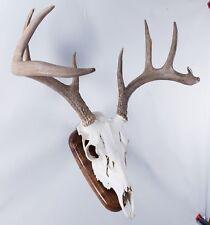 European Skull Mount Wall Plaque Walnut