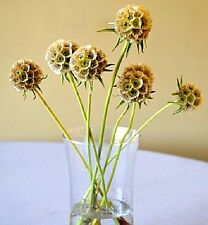 Scabiosa stellata (Paper moons, Star-flowers) x 15 seeds