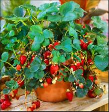 Rosso 100 PZ SEMI FRAGOLA RAMPICANTE STRAWBERRY piante da frutto casa giardino nuovo H