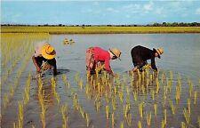 BG21482 types thai farmers transplant rice seedlings  on the fields  thailand