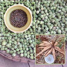 Cassava 20 seeds, Manihot esculenta Crantz Casana Manioc Tapioca plant