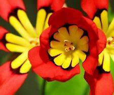 Red Sparaxis Tricolor Flower Seeds 80 SEEDS  --BUY 4 ITEMS FREE SHIPPING