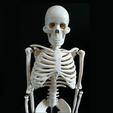 Medium Human Skeleton & Skull Anatomical Model 85cm - Medical Anatomy