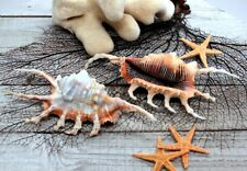 "Lambis Scorpius Spider Conch Sea Shell 4.5-5"" Beach Decor, Priced each"