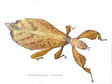 "Phyllium tobeloense ""Galela"" fertil eggs x30/Leaf insect/Fasmids"
