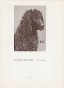 IRISH WATER SPANIEL HEAD STUDY OLD VINTAGE 1934 NAMED DOG PAGE PRINT
