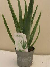 2 x Aloe Vera Medicinal Plants 9.5 Cm Pots